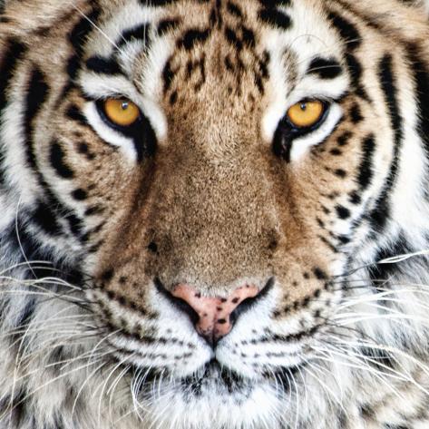Bengal Tiger Eyes Impressão fotográfica