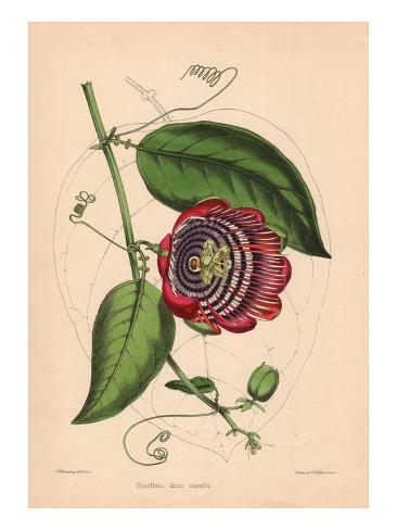 Winged-Stem Passion Flower with Crimson, Purple and White Flowers Stampa giclée