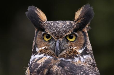 Tiger Owl Face Photographic Print