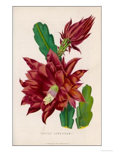 Cactus JenkinsonII Lámina giclée