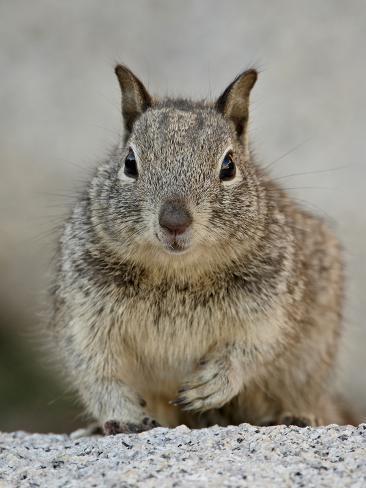 California Ground Squirrel (Citellus Beecheyi), Joshua Tree National Park, California Stretched Canvas Print