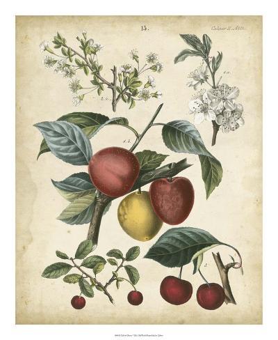Calwer Cherry Giclée-vedos