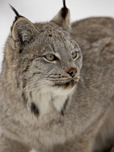 Canadian Lynx (Lynx Canadensis) in Snow in Captivity, Near Bozeman, Montana Photographic Print