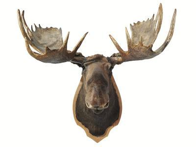 Canadian Taxidermy Moose Head Hunting Trophy Mounted On