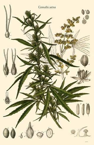 Cannabis Sativa Impressão original