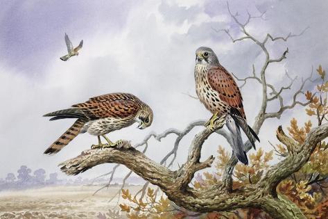 Pair of Kestrels Giclee Print