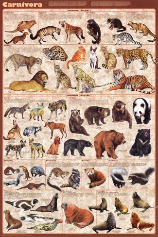 Carnivora (13 families of meat-eaters) Educational Poster Poster
