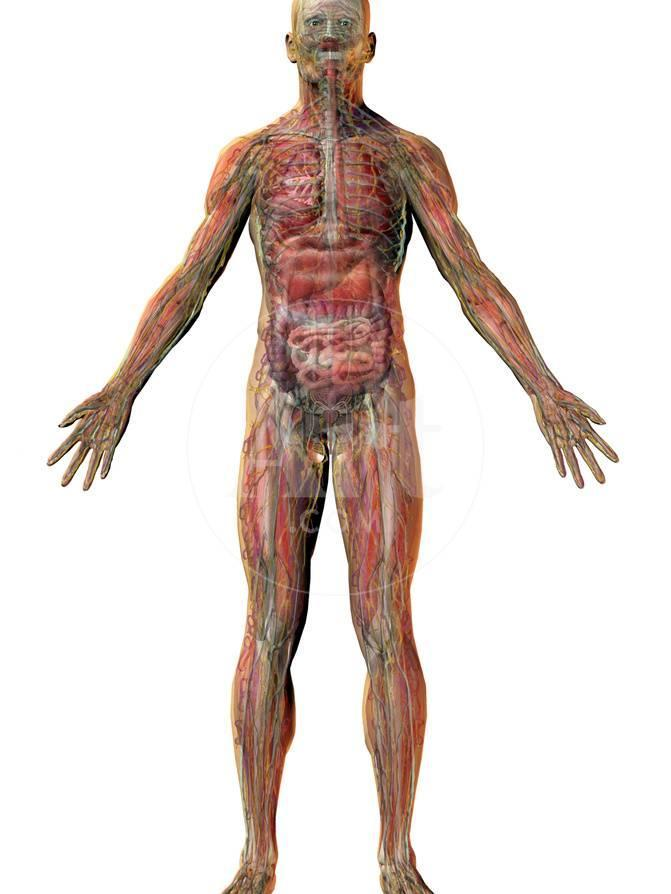 Human Male Figure Showing Major Body Systems Skeletal Muscular