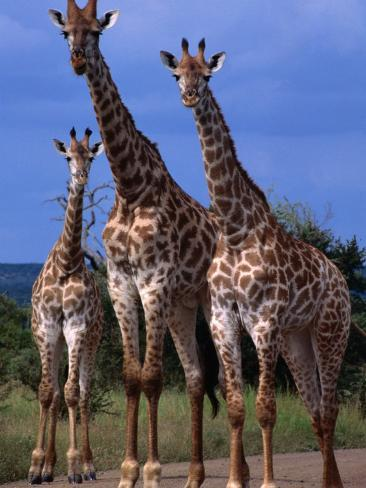 Giraffe Family, Kruger National Park, Kruger National Park, Mpumalanga, South Africa Photographic Print