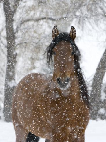 Bay Andalusian Stallion Portrait with Falling Snow, Longmont, Colorado, USA Photographic Print