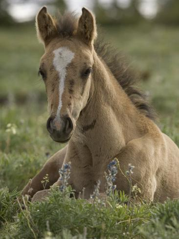 Mustang / Wild Horse Colt Foal Resting Portrait, Montana, USA Pryor Mountains Hma Photographic Print
