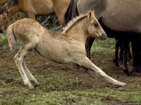 Mustang / Wild Horse Filly Stretching, Montana, USA Pryor Mountains Hma Photographic Print