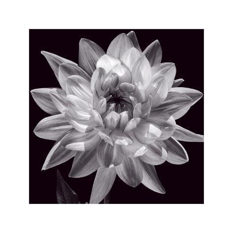 White Dahlia I Giclee Print