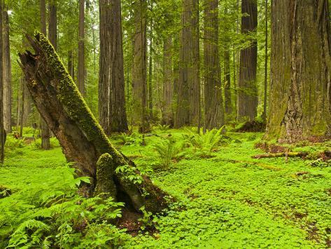 Forest Floor, Humboldt Redwood National Park, California, USA Photographic Print