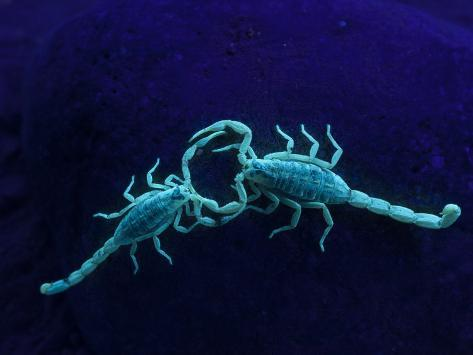 Two Scorpions Under Blacklight, Maverick County, Texas, USA Photographic Print