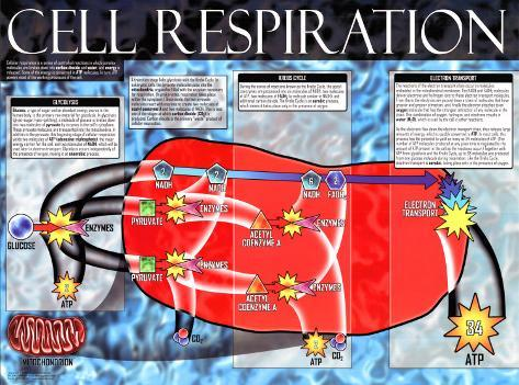 Cellular Respiration Art Print