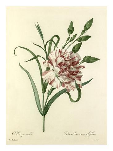 Oeillet panaché: Dianthus cariophyllus Giclee Print