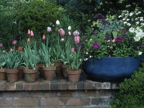 Spring Flowers and Tulips in Pots Photographic Print