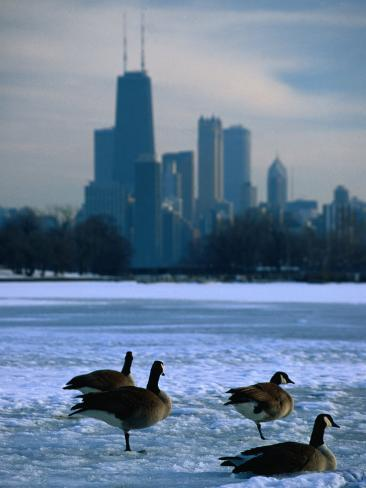 Four Canada Geese on Frozen Lagoon with North Loop Skyline in Background, Chicago, USA Photographic Print