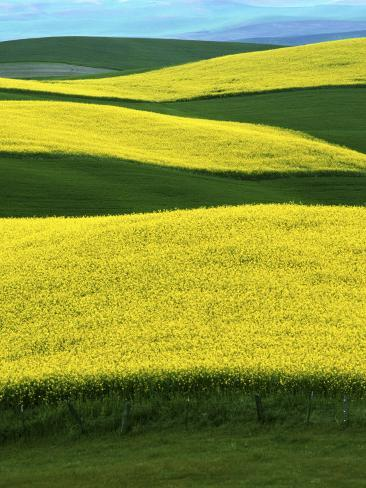 canola fields in bloom moscow idaho usa photographic print by