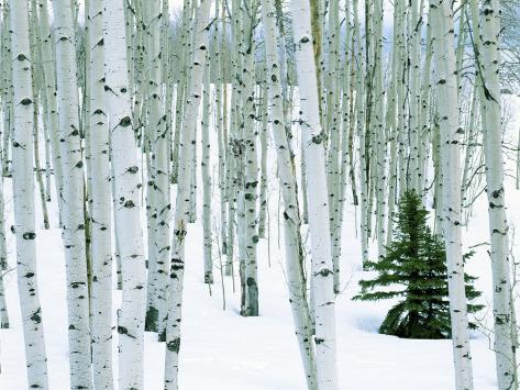 Fir in Aspen grove, Dixie National Forest, Utah, USA Photographic Print
