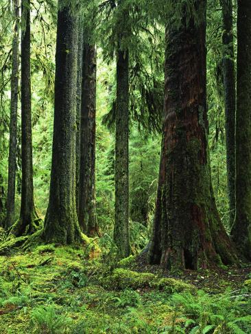 Virgin Sitka Spruce, Hoh Rain Forest, Olympic National ...