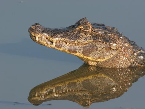 Spectacled Caiman, Caiman Crocodilus, in Water. Pantanel, Brazil, South America Photographic Print