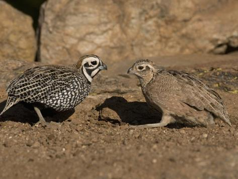 Montezuma or Mearns' Quail Male and Female (Cyrtonyx Montezumae) Scratching for Food Photographic Print