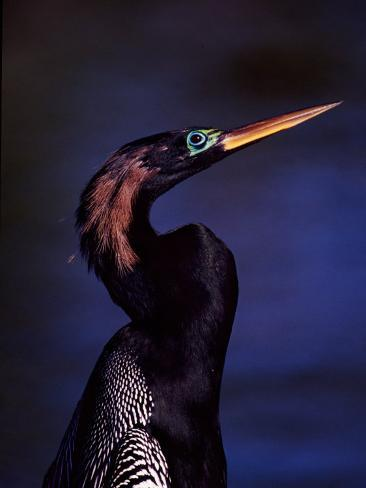 Anhinga, Snake Bird in Breeding Plumage, Everglades National Park, Florida, USA Photographic Print