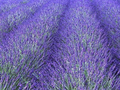 Lavender Field, Sequim, Olympic National Park, Washington, USA Photographic Print