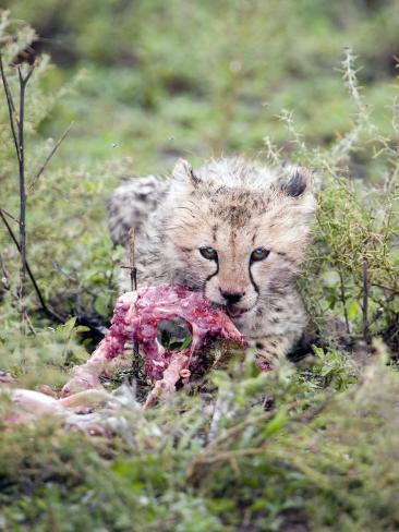 Cheetah Cub Eating a Dead Animal, Ndutu, Ngorongoro, Tanzania Stretched Canvas Print
