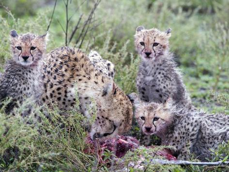 Cheetah Cubs Eating a Dead Animal, Ndutu, Ngorongoro, Tanzania Stretched Canvas Print
