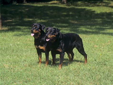 Rottweiler Variety of Domestic Dog Photographic Print