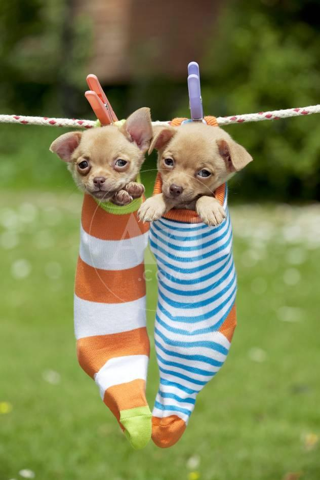 Chihuahua Puppies Hanging in Socks (4 Weeks) Photographic