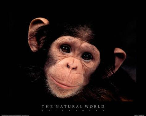 Chimp The Natural World Art Print Poster Mini Poster