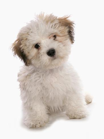 Domestic Dog Shichon Shih Tzu X Bichon Frise Designer Crossbreed