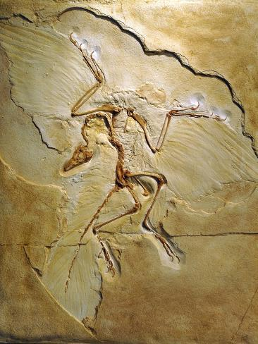Archaeopteryx Fossil, Berlin Specimen Photographic Print