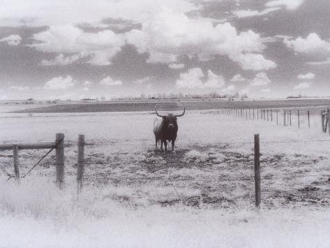Longhorn Steer, CO Photographic Print