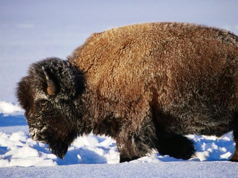 Bison in Snow, Yellowstone National Park, U.S.A. Photographic Print