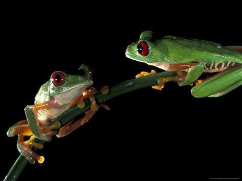 Red-Eyed Tree Frogs, Barro Colorado Island, Panama Photographic Print