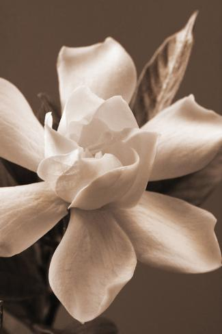Magnolia in Sepia Stretched Canvas Print