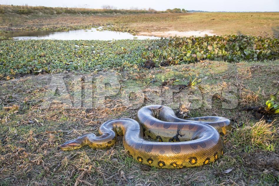 Giant Anaconda (Eunectes Murinus) Hato El Cedral, Llanos, Venezuela ...