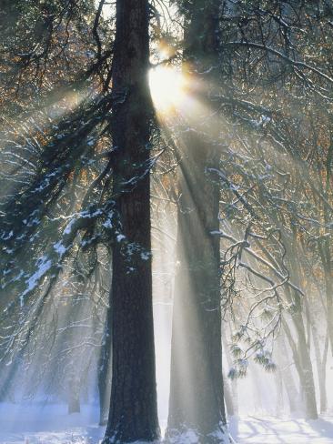 Sun Rays Streaming Through Snow Covered Trees, Yosemite National Park, California, USA Photographic Print