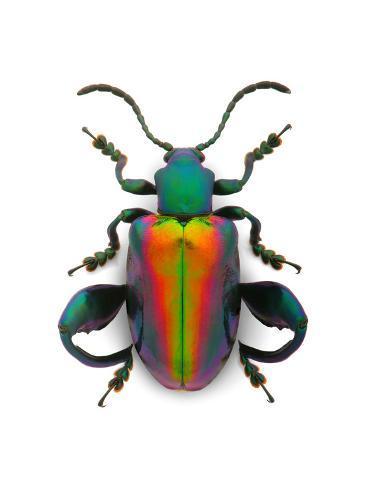 オールポスターズの christopher marley frog leg beetle 写真プリント