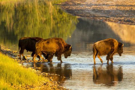 Bison Wildlife Crossing Little Missouri River, Theodore Roosevelt National Park, North Dakota, USA Photographic Print