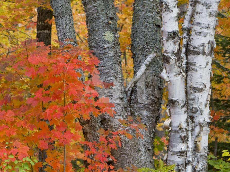 Colorful Maple Trees Keweenaw Penninsula Michigan Usa Photographic Print Chuck Haney Allposters Com,Personal Space Meme
