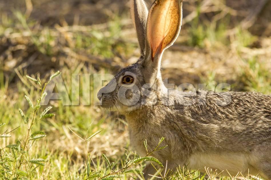 Jack Rabbit Usa >> Jackrabbit In Big Bend National Park Texas Usa Photographic Print