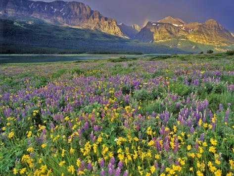 Meadow of Wildflowers in the Many Glacier Valley of Glacier National Park, Montana, USA Photographic Print