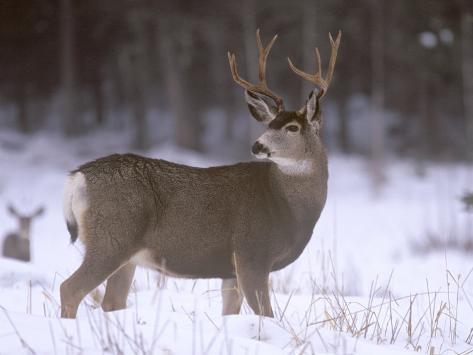 Mule Deer Buck in Winter Photographic Print
