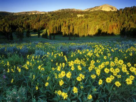 Wildflowers Near Lionshead Mountain, Gallatin National Forest, West Yellowstone, Montana, USA Photographic Print